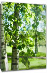 Obraz na płótnie canvas - Young birch branches in the sunlight . Spring green background. Juicy greens