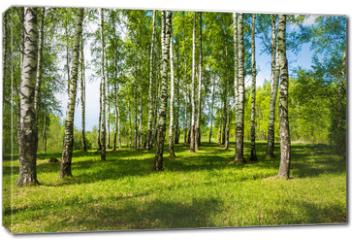 Obraz na płótnie canvas - Birch grove on a bright Sunny day.