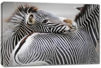 Obraz na płótnie canvas - Zebra