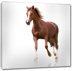 Obraz na płótnie canvas - red horse with the three white legs and white line on the face isolated on white background runs