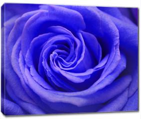 Obraz na płótnie canvas - rose