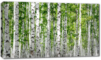 Obraz na płótnie canvas - White birch trees in the forest in summer