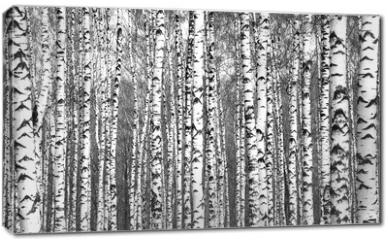 Obraz na płótnie canvas - Spring trunks of birch trees black and white