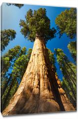 Obraz na płótnie canvas - Giant Sequoia