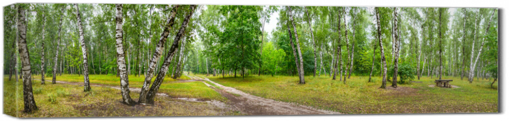 Obraz na płótnie canvas - Birch grove with a road and bench on sunny summer day, huge panorama