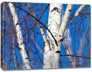 Obraz na płótnie canvas - Trunk of a birch against a blue sky