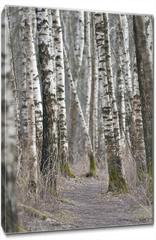 Obraz na płótnie canvas - Birch trees forest at spring