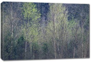 Obraz na płótnie canvas - Row of birch trees with fresh leaves in springtime.