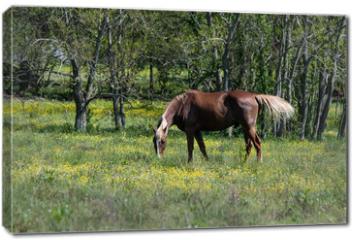 Obraz na płótnie canvas - Brown horse grazing