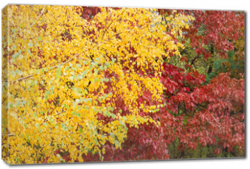 Obraz na płótnie canvas - Background of the birch and red oak with autumn leaves