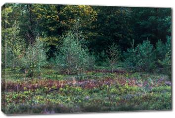 Obraz na płótnie canvas - Young birch trees in moorland.