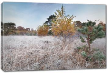 Obraz na płótnie canvas - yellow birch tree and small pine on frosted meadow