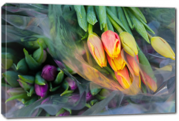 Obraz na płótnie canvas - Tulip. Beautiful bouquet of tulips. Colorful tulips. Flower plants cultivation in greenhouse