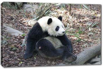 Obraz na płótnie canvas - Panda is Posing Funny, Panda Valley, China