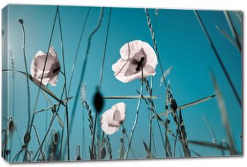 Obraz na płótnie canvas - Mohnblumen Papaver rhoeas