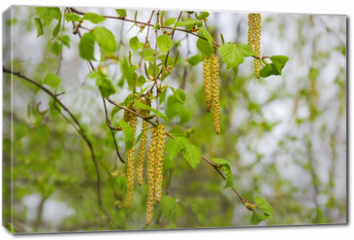 Obraz na płótnie canvas - Birch branches with young leaves and catkins on blurred background