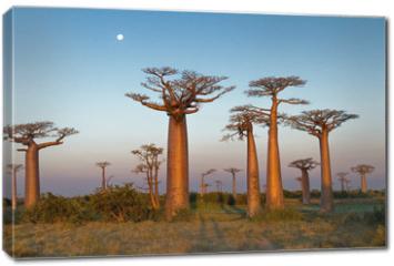 Obraz na płótnie canvas - Field of Baobabs