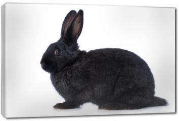 Obraz na płótnie canvas - Black rabbit on white background