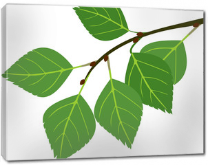 Obraz na płótnie canvas - Branch of birch with green leaves isolated on white background