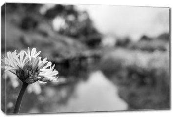 Obraz na płótnie canvas - Flor preto e branco fundo desfocado