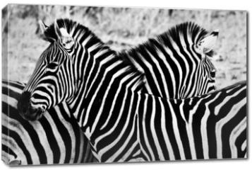 Obraz na płótnie canvas - Zebras in Kruger National Park, South Africa