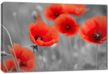Obraz na płótnie canvas - red poppies on b/w field
