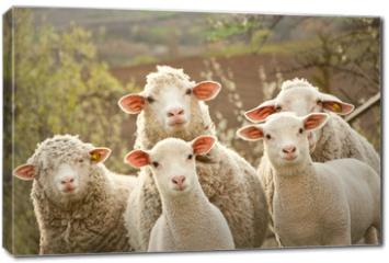 Obraz na płótnie canvas - Sheep on pasture