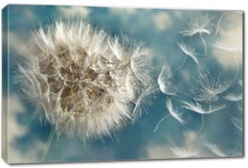 Obraz na płótnie canvas - Dandelion Loosing Seeds in the Wind