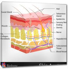 Obraz na płótnie canvas - Skin Anatomy