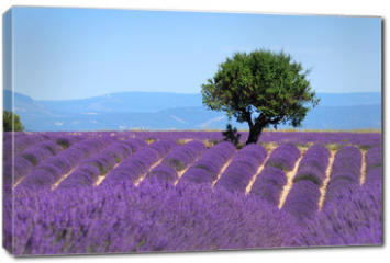 Obraz na płótnie canvas - Lavender field. The plateau of Valensole in Provence