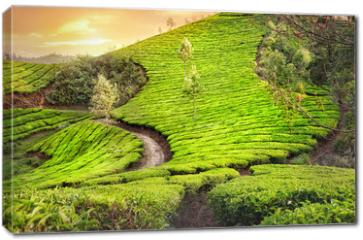 Obraz na płótnie canvas - Tea plantations in India