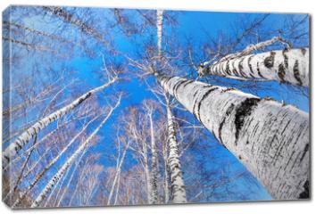Obraz na płótnie canvas - Birchwood