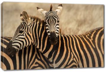 Obraz na płótnie canvas - Abbraccio tra zebre