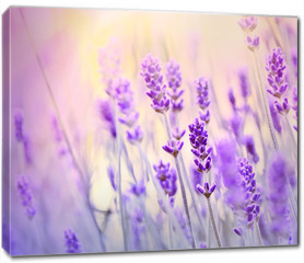 Obraz na płótnie canvas - Lavender lit by sun rays