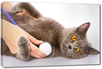 Obraz na płótnie canvas - doctor and a British cat on white background