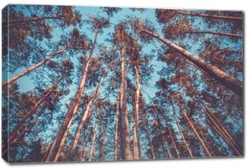 Obraz na płótnie canvas - Silhouette of pine forest