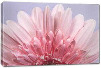 Obraz na płótnie canvas - Gerbera flower blossom.