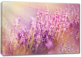 Obraz na płótnie canvas - Lavender flowers lit by sun rays (sunbeams)