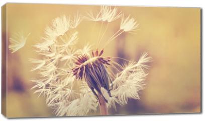 Obraz na płótnie canvas - Autumn dandelion close up