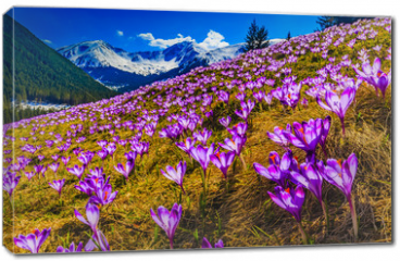 Obraz na płótnie canvas - Tatra Mountains, crocuses in the Chocholowska Valley