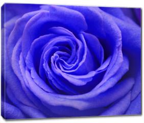 Obraz na płótnie canvas - Róża