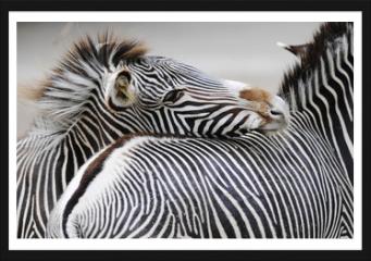 Obraz w ramie - Zebra