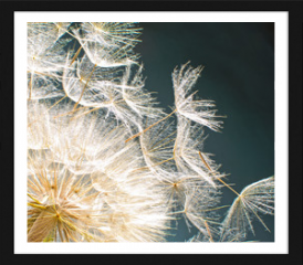 Obraz w ramie - Pusteblume: Ich wünsche mir ....