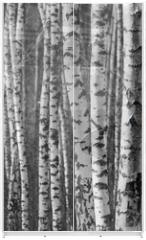 Panel szklany do szafy przesuwnej - Birch tree trunks - black and white natural background