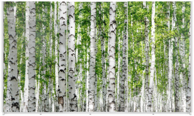 Panel szklany do szafy przesuwnej - White birch trees in the forest in summer