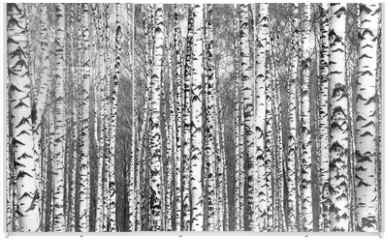 Panel szklany do szafy przesuwnej - Spring trunks of birch trees black and white