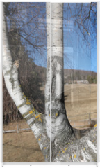 Panel szklany do szafy przesuwnej - birch with the trunk of the characteristic white color and the b