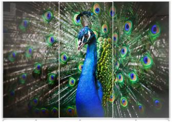 Panel szklany do szafy przesuwnej - Beautiful peacock