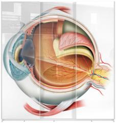 Panel szklany do szafy przesuwnej - Anatomy of the eye
