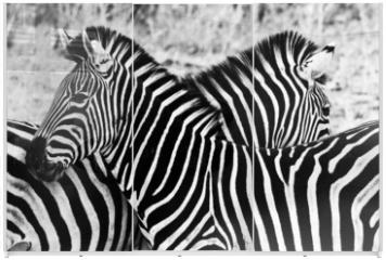 Panel szklany do szafy przesuwnej - Zebras in Kruger National Park, South Africa
